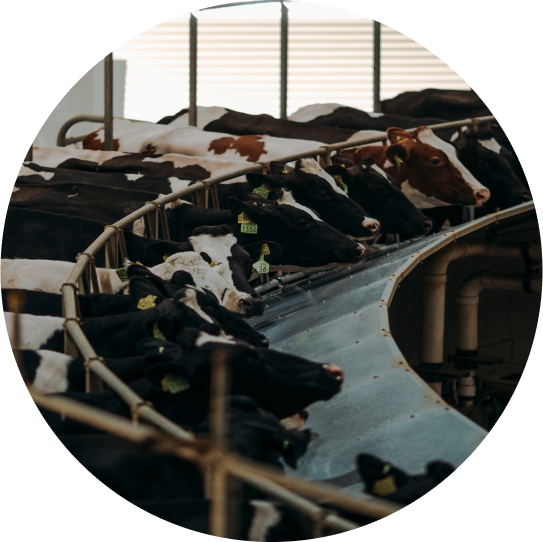 A Highly Efficient Rotating Milking Parlor